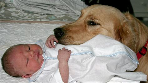 golden retriever with baby golden retriever and babies compilation new