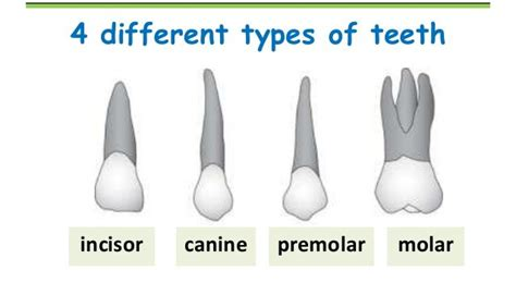 Diffrent Types Of Mba by You 4 Different Types Of Teeth With Four Different