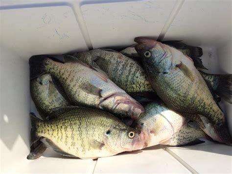 lake fork report update pictures crappie fishing