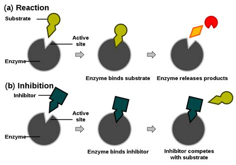enzyme inhibitors in food principles of biochemistry enzymes wikibooks open books