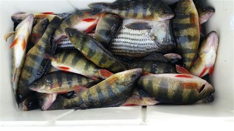 any ring yellow raccoon perch in va yet