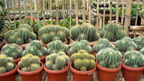 sukses menanam  merawat kaktus hias  baik