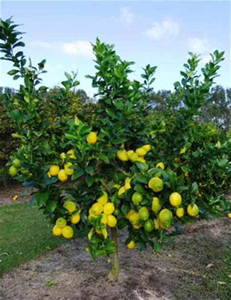 new year citrus tree citrus information brunswick wholesale plants