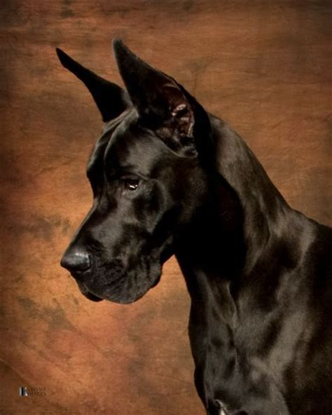 large houses for great danes great dane dogs barking beast