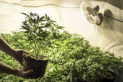 planta marihuana interior cultivo en interior en casas verdes o casas de