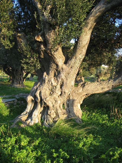 olive trees file old olive tree in karystos euboia greece jpg