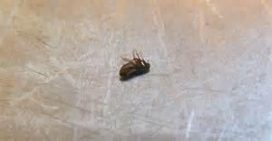 fleas on humans and fleas in house nextgen