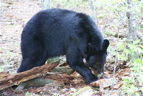 cute rustic mountain woods black bear upside down hook new cing at redwood national park usa today