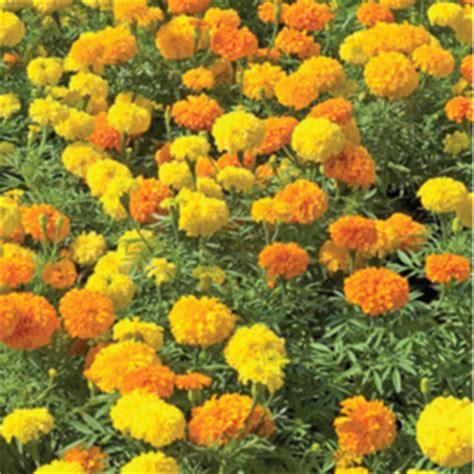 Tanaman Marigold Orange crackerjack marigold seeds farmer seeds