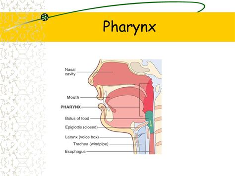 pharynx diagram pharynx structure related keywords suggestions pharynx
