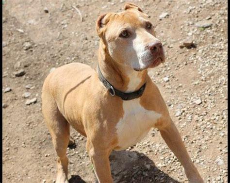 mason, a pit bull mix at villalobos rescue center. | dawgs