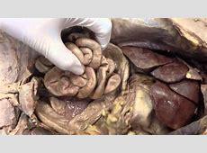 Cat digestive system - YouTube Female Urinary System Anatomy