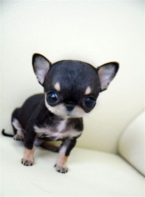 cheap teacup chihuahua puppies for sale best 25 teacup chihuahua puppies ideas on