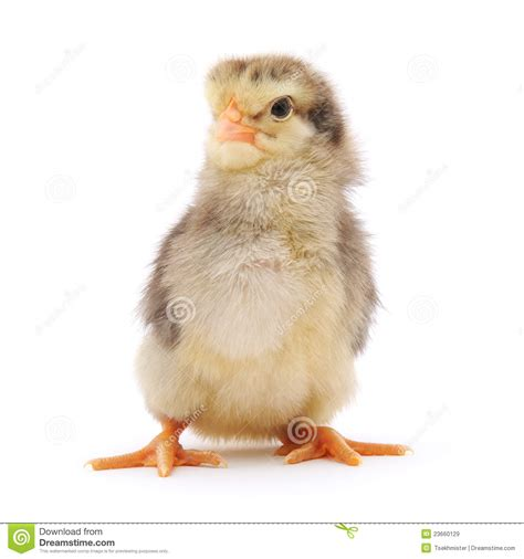 small chicken small chicken royalty free stock images image 23660129
