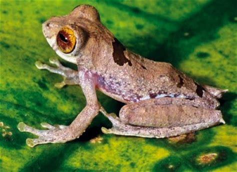 Jk121 Jaket Anak Blue Frog species new to science herpetology 2008 rhacophorus belalongensis a new treefrog anura