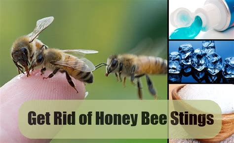 How To Get Rid Of A Beehive In Your Backyard by Get Rid Of Honey Bee Stings With Simple Remedies Find