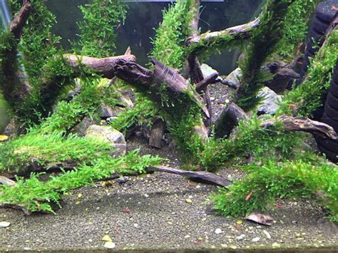 Aquascape Wood by Spiky Moss Xl Wood Aquarium Aquat End 10 13 2017 5 15 Pm