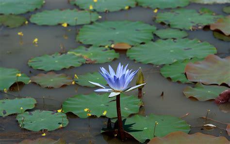 wallpaper blue lotus beautiful lotus wallpaper