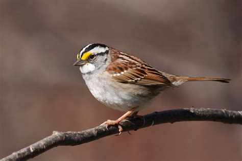 white throated sparrow migration the adirondack almanack