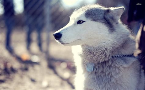 Wallpaper Husky | husky wallpapers high resolution and quality download