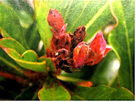 Metindo Insektisida jenis dan cara mencegah hama adenium tanaman hias dan