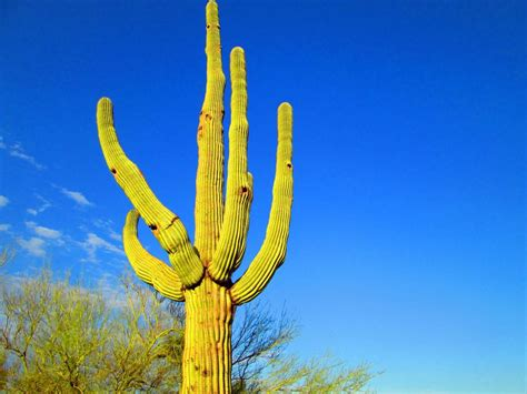 Saguaro Cactus Ls by The Best Types Of Cactus To Grow In Your Garden