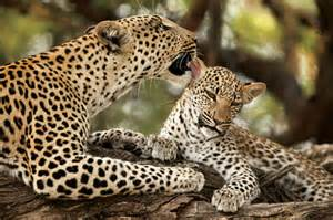Leopard cubs with mother a mother s love abc news