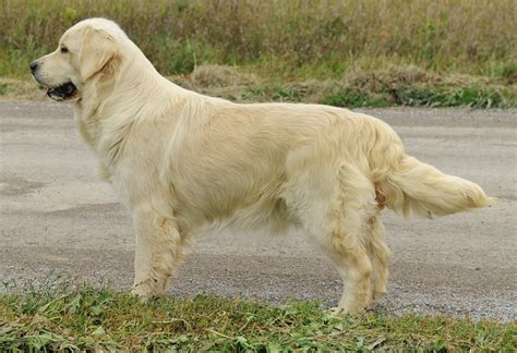 our golden retrievers golden retrievers enya