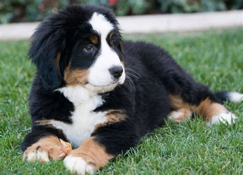 bernese puppy how to care for a bernese mountain