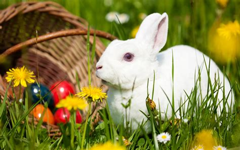 cute rabbit hd wallpaper white rabbit hd wallpapers for desktop animals hd