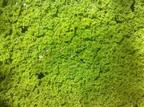 Jual Bibit Azolla Di Jakarta obat tradisional jual bibit azolla microphylla pakan