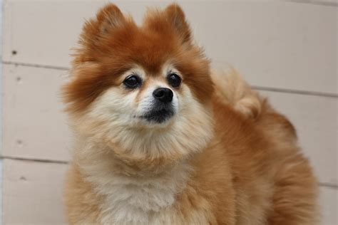 different types of pomeranian dogs 3 types of pomeranian faces types of pomeranian haircuts hairstylegalleries 3
