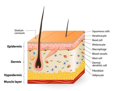 diagram of the dermis epidermis uorganic