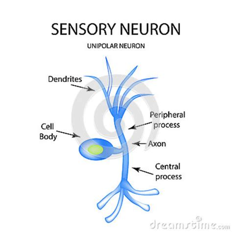simple neuron diagram simple diagram of a sensory neuron images how to guide