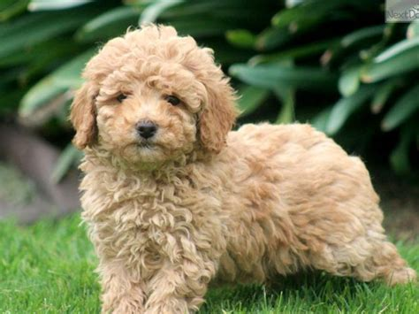 mini poodle puppies miniature poodle history personality appearance health and pictures