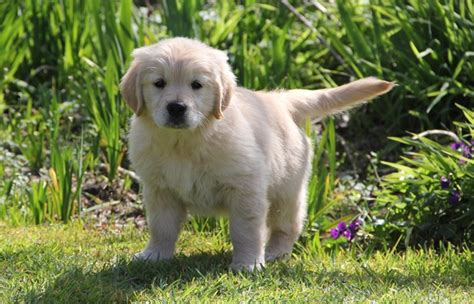 choosing a golden retriever puppy the golden retriever club inc new zealand