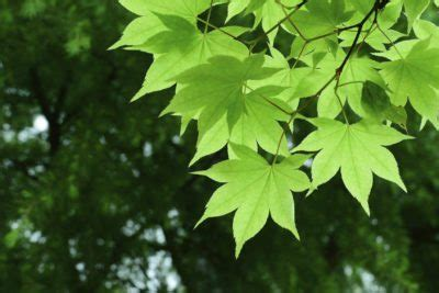 maple trees hardiness zone 4 cold hardy maple trees tips on growing maple trees in zone 4