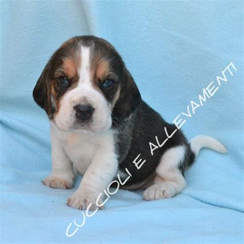 beagle alimentazione beagle beagle cucciolo 263713