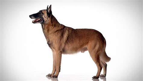 belgian dogs belgian malinois breed selector animal planet