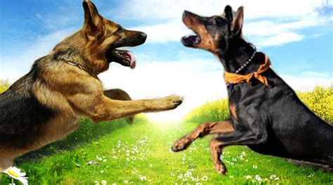 pitbull and rottweiler comparison doberman vs german shepherd learn the difference dogs hunt