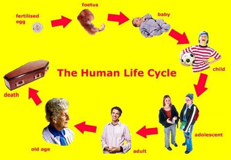 this diagram of the human cycle shows that showing stages of a human cycle pictures