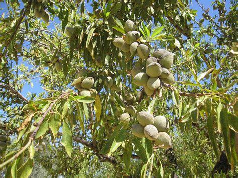 almond fruit tree almond prunus amygdalus almond tree