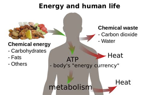 energy drink laws the laws of thermodynamics in biological systems