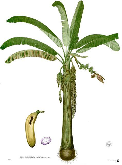 La Bananais Pisang Sale 39 banan zwyczajny wolna encyklopedia