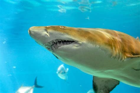baby shark news photos baby sand tiger sharks