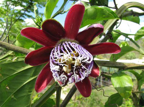 fruit vines passionfruit sweet lilikoi vine passiflora alata