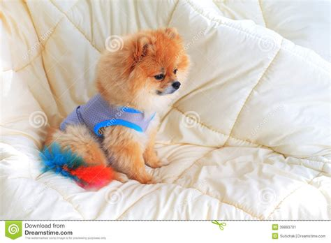 pomeranian wearing clothes pomeranian grooming wear clothes stock photo image 39893701