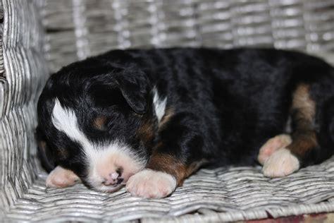 puppy rescue wisconsin bernese mountain rescue wisconsin best mountain 2017