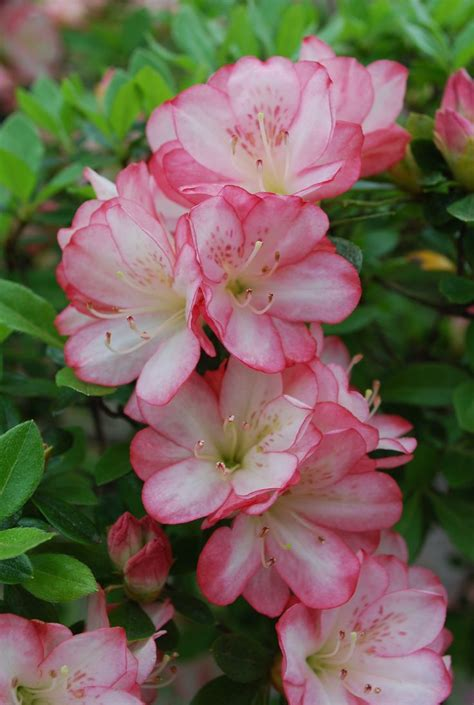 azalea colors the 25 best azalea color ideas on azaleas