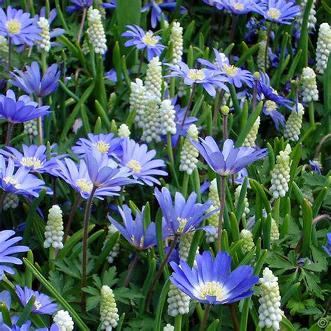 blue flower bulbs blue and white garden 60 flower bulbs buy